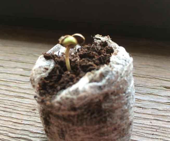 Como germinar semillas de marihuana - Paso 3